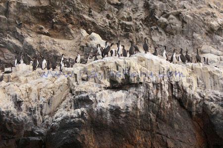 Pinguinos en Isla Galapagos - Pucusana Lima Peru